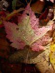 dewy leaves, Starksboro