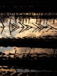 sunset reflection in the harvested cornfields
