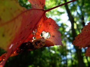 2009-SEPT26-autumn leavesjpg